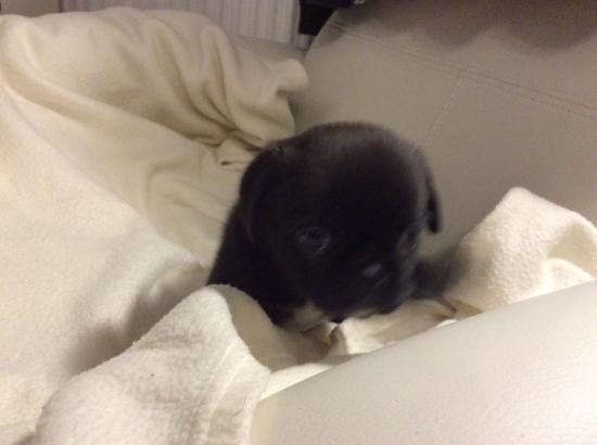 6 Chunky Shih Tzu/pug Male Puppies
