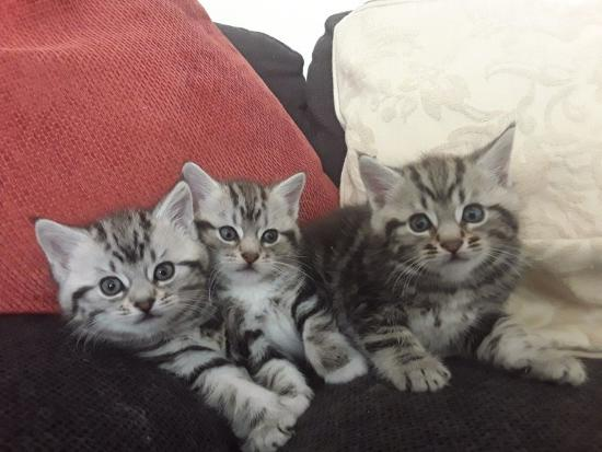 Сибирские / ragamuffin Cross Kittens для продажи
