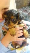 Male And female Teacup Yorkshire terrier Puppies